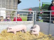 Viehzucht: Landschweine in einem gesegneten Zuhause