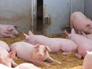 Landwirtschaft: Wo Schweine sich sauwohl fühlen