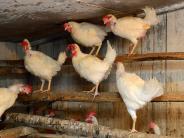 Vogelgrippe: Keine Entwarnung bei der Vogelgrippe, obwohl Stallpflicht gelockert wurde