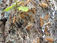 Aichach-Friedberg: Giftige Raupen siedeln sich allmählich im Landkreis an
