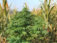 Altomünster: 200 Cannabispflanzen in einem Maisfeld entdeckt
