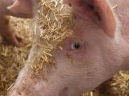 Landwirtschaft: Strohschweine haben kein Schweineleben
