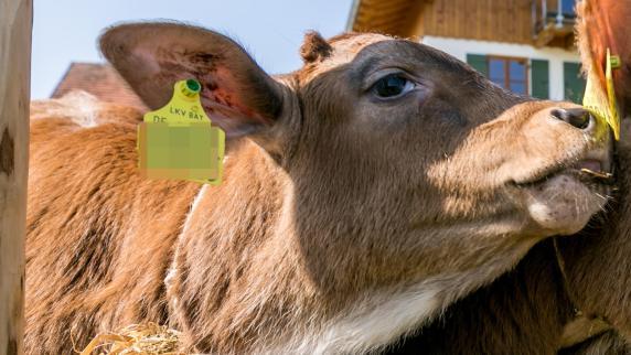 Kreis Augsburg: Landwirt lässt Kälber und Schweine qualvoll verhungern
