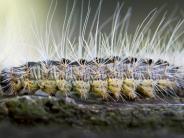 Dinkelscherben: Was tun gegen die gefährlichen Raupen?