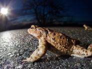 Dinkelscherben/Horgau: Die Wärme lockt die Kröten auf die Straße