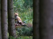 Neusäß: Fuchs-Familie streunt durch Steppach