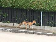 Neusäß: Schau dich um, der Fuchs geht rum