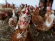Landkreis Augsburg: Ein Bauernhof kommt auf das Huhn