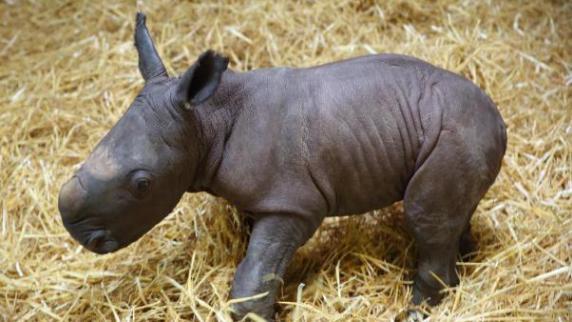Zoo Augsburg: Willkommen Kibo! Augsburger Zoo freut sich über erstes Nashorn-Baby