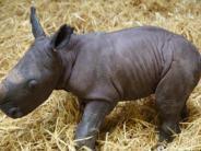 Zoo Augsburg: Willkommen Kibo! Erstes Nashorn-Baby im Augsburger Zoo geboren