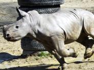 Augsburg: Nashorn-Baby Kibo ist die große Attraktion im Zoo