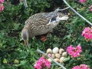Augsburg: Warum Agatha die vielleicht berühmteste Ente der Stadt ist