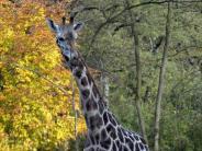 Leichte Sprache: Immer noch keine Giraffen im Augsburger Zoo