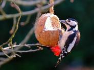 """Vogelgrippe: """"Keine Panik"""" trotz Vogelgrippe: Warum Vogelfüttern ungefährlich ist"""