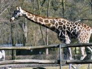 Zoo Augsburg: Besucher müssen noch länger auf neue Giraffen warten