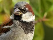 Natur: Der Spatz hat es in Augsburgs Gärten schwer