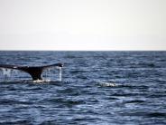 British Columbia: Wale in Kanada: Aus dem Nichts taucht die Flosse auf