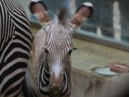 Augsburger Zoo: Das Zebra-Baby ist ganz schön frech