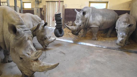 Zoo Augsburg: Nashorn Kibo muss wohl bald Augsburger Zoo verlassen