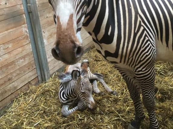 augsburg nachwuchs im augsburger zoo zebra baby nummer eins ist da lokales augsburg. Black Bedroom Furniture Sets. Home Design Ideas