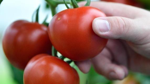 solanin im strunk der tomate steckt der giftstoff solanin. Black Bedroom Furniture Sets. Home Design Ideas