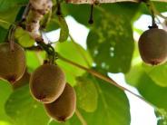 Schädlinge: Wanzen bedrohen Kiwi-Ernte in Neuseeland