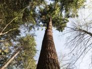 Douglasie mit Aha-Effekt: «Waldtraut» ist Deutschlands höchster Baum
