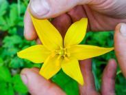 Touristen-Magnet: Wilde Tulpen: Heimlicher Star am Kloster Neuzelle