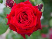 Gemeinsames Beet: Rosen und Lavendel - Traumpaar mit Beziehungsproblemen