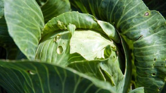 Maßnahmen gegen Maden: Eingenetzt: Schutz über Kohl hält Schädlingen fern