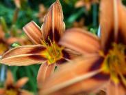 Verzehrbare Zierpflanzen: Mit Taglilien und Begonien kochen:Essbare Blüten züchten