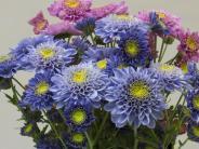 Zufallsentdeckung der Forscher: Gentech-Chrysanthemen blühen blau