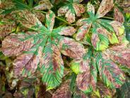 Braune Blätter: Bäume ohne Kleid: Miniermotte schädigt Kastanien