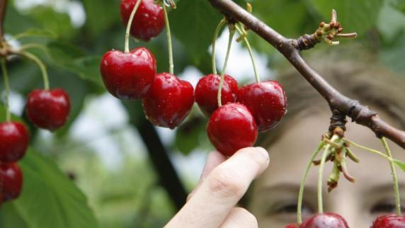 Schutz vor Schädlingen: Schmackhaft Früchte: ReifeKirschen sollten täglich geerntet werden