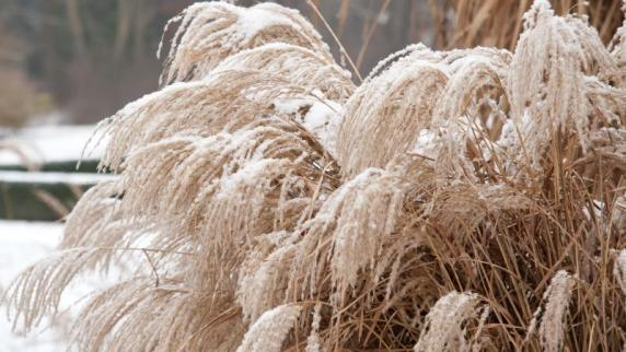 Je nach Sorte: Gartenpflege: SollenGräser im Herbst abgeschnitten werden?