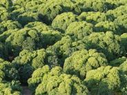 Suprfood: Vitaminbombe aus dem eigenen Garten: Grünkohl anbauen