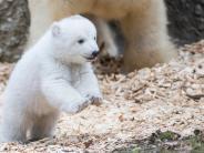 Bildergalerie: Schon so neugierig: Münchner Eisbärenbaby auf Entdeckungstour
