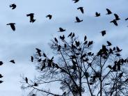 Natur: Kampf den Krähen in Schwaben