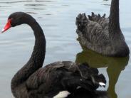 Tiere: Trauerschwan im Glück