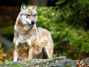 Mittelfranken: Wolf im Landkreis Ansbach fotografiert