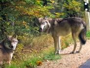 Natur: Riss Wolf ein Schaf?
