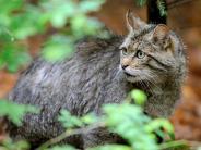 Natur: Wieder mehr Wildkatzen in Bayern