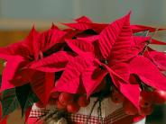 Pflanzen: Bitte den schönen Weihnachtsstern nicht ertränken