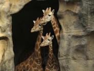 Rote Liste: Population stark gesunken: Giraffen sind vom Aussterben bedroht