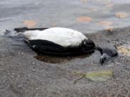 Geflügelpest H5N8: Vogelgrippe ist in Bayern angekommen