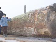 Pfaffenhofen: Eine alte Eiche macht sich auf den Weg