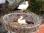 Tierwelt: Die Störche im Landkreis Dillingen legen fleißig Eier