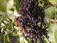 Finningen: Wildfrüchte als Allheilmittel