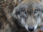 Kreis Dillingen: Nicht mehr lange, und der Wolf erreicht den Landkreis
