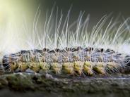 Bayern: Der Eichenprozessionsspinner - ein reizendes Tierchen